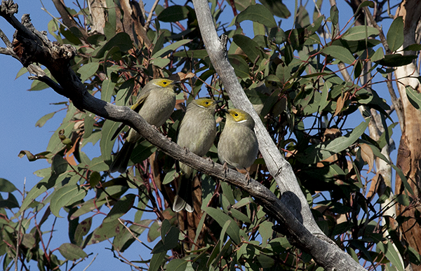 Honeyeaters on branch