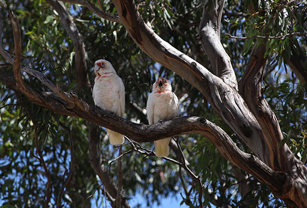 Two Corellas
