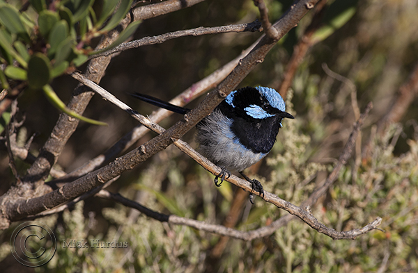 superb-blue-wren-7-copy