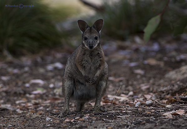 tamar-wallaby-copy-2